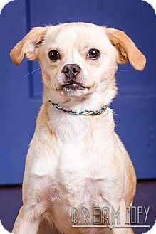 Pug Mix Dog for adoption in Owensboro, Kentucky - Otis - DRD graduate