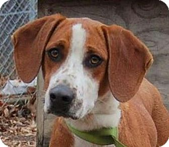 Basset Hound Mix Dog for adoption in Harrisonburg, Virginia - Butter