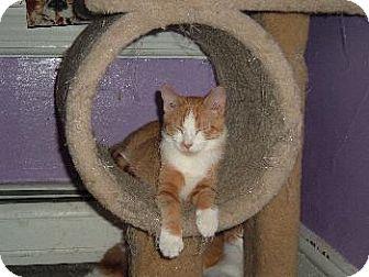 Domestic Shorthair Kitten for adoption in Walnutport, Pennsylvania - Slugger
