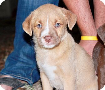 Boxer/American Staffordshire Terrier Mix Puppy for adoption in Tomball, Texas - Hazel