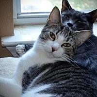 Adopt A Pet :: Bruno 2 - Austin, TX