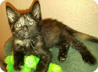 Domestic Shorthair Kitten for adoption in North Highlands, California - Querida