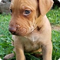 Adopt A Pet :: Caesar (Roman Rulers) - Alexandria, VA