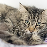 Adopt A Pet :: Sheena - Montclair, CA