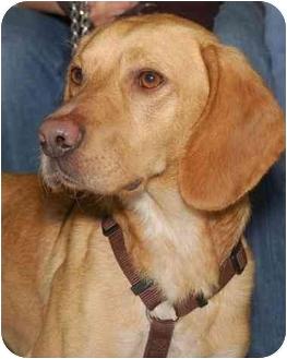 Labrador Retriever/Beagle Mix Dog for adoption in Stafford, Virginia - Trevor