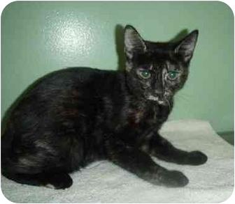 Domestic Shorthair Kitten for adoption in New Egypt, New Jersey - Kinsey