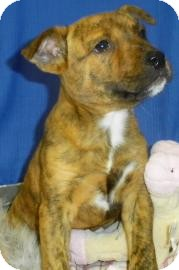Shepherd (Unknown Type)/Terrier (Unknown Type, Medium) Mix Puppy for adoption in Lincolnton, North Carolina - Sunny