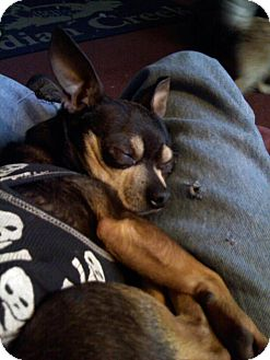 Chihuahua Dog for adoption in Buffalo, New York - Roscoe: AKC Chihuahua
