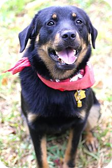 Rottweiler/Shepherd (Unknown Type) Mix Puppy for adoption in hollywood, Florida - Rembrandt