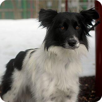 Border Collie Dog for adoption in Delano, Minnesota - Bella