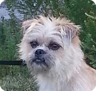 Brussels Griffon Mix Dog for adoption in Windham, New Hampshire - Delilah (reduced to $400)