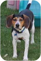 Beagle Mix Puppy for adoption in Elk Grove, California - Buster