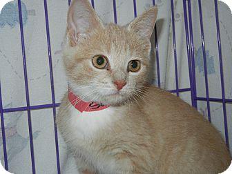 Domestic Shorthair Kitten for adoption in Miami, Florida - Sookie