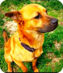 Shepherd (Unknown Type) Mix Dog for adoption in Nashville, Tennessee - Dusty