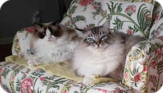 Ragdoll Cat for adoption in Davis, California - Ollie and Roxie