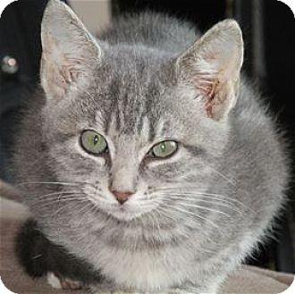 Domestic Shorthair Kitten for adoption in Rocklin, California - Hotshot