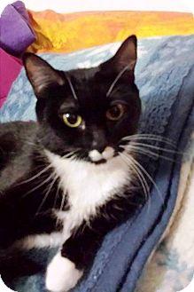 Domestic Shorthair Cat for adoption in Anoka, Minnesota - Princess
