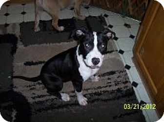American Pit Bull Terrier Mix Dog for adoption in Vancouver, Washington - Brooklyn