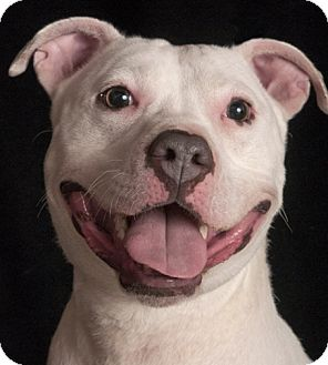 American Pit Bull Terrier Mix Dog for adoption in Chicago, Illinois - Snow