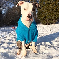 American Staffordshire Terrier/American Bulldog Mix Dog for adoption in Medina, Ohio - Gator