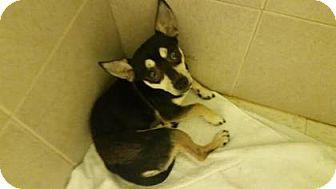 Chihuahua Mix Dog for adoption in Philadelphia, Pennsylvania - Martin