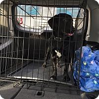 Adopt A Pet :: Stella - Lewisville, IN