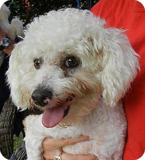 Poodle (Miniature) Mix Dog for adoption in Houston, Texas - Jiggy