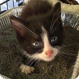 Domestic Mediumhair Kitten for adoption in Wilmore, Kentucky - Sherlock