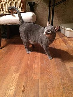 Domestic Shorthair Cat for adoption in Fenton, Missouri - Cowboy