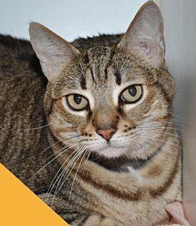 Domestic Shorthair Cat for adoption in Roseville, California - Kyeira