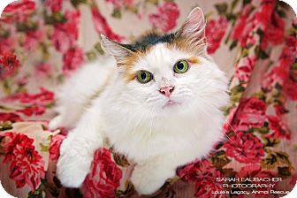 Domestic Longhair Cat for adoption in Cincinnati, Ohio - Chloe