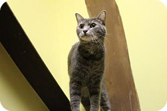 Domestic Shorthair Cat for adoption in West Des Moines, Iowa - Smokey