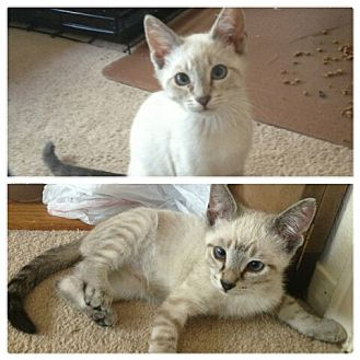 Siamese Kitten for adoption in Vacaville, California - Athena