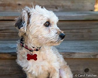 Havanese/Poodle (Miniature) Mix Dog for adoption in Wethersfield, Connecticut - Poppy