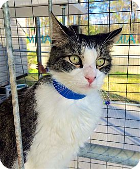 Domestic Mediumhair Cat for adoption in Smithtown, New York - Harry
