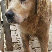 Adopt A Pet :: Clark Gable - Washington, DC