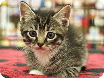 Domestic Shorthair Kitten for adoption in Great Falls, Montana - Phillip