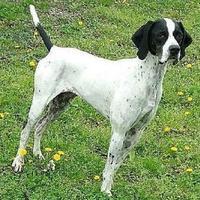 Adopt A Pet :: Alle - Monroe, MI