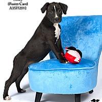 Adopt A Pet :: Lindy  (Foster Care) - Baton Rouge, LA