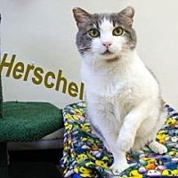 Adopt A Pet :: Herschel - Hamilton, MT