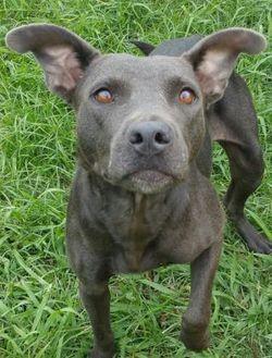 Labrador Retriever Mix Dog for adoption in West Memphis, Arkansas - Reneigh