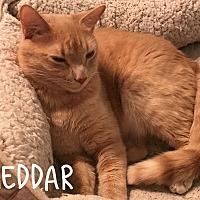 Adopt A Pet :: Cheddar - Wichita Falls, TX