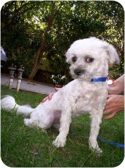 Lhasa Apso/Poodle (Miniature) Mix Dog for adoption in Harbor City, California - Gus