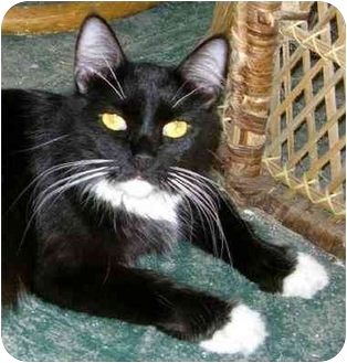 Domestic Mediumhair Cat for adoption in New Carlisle, Ohio - Julie