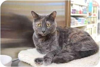 Domestic Shorthair Cat for adoption in Modesto, California - Samantha