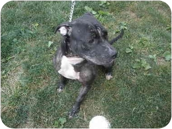 Pit Bull Terrier Mix Dog for adoption in Broadway, New Jersey - Francine
