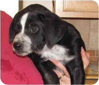Blue Heeler/Labrador Retriever Mix Puppy for adoption in West Richland, Washington - Jessie