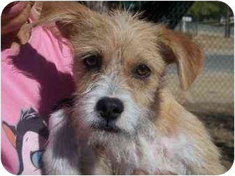Wirehaired Fox Terrier Mix Puppy for adoption in California City, California - Gem