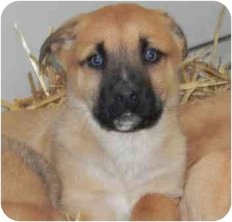 German Shepherd Dog/Labrador Retriever Mix Puppy for adoption in Salem, New Hampshire - Lilac