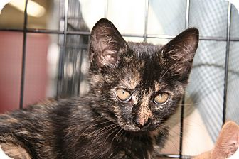 Domestic Shorthair Cat for adoption in East Brunswick, New Jersey - Tootsie - NEXT WEEK